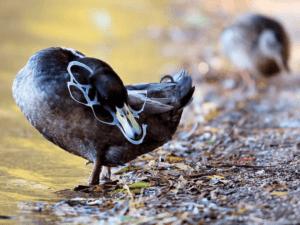 Duck stuck in plastic trash